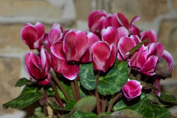 Cyclamen houseplant blooming, Persian cyclamen, Persian violet