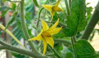 yellow tomato flower