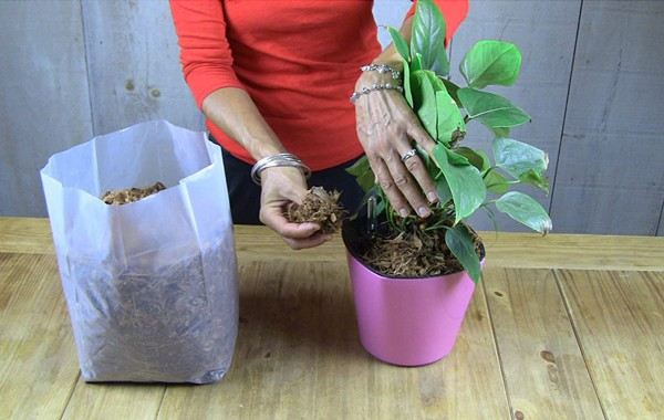 Mulching potted plants