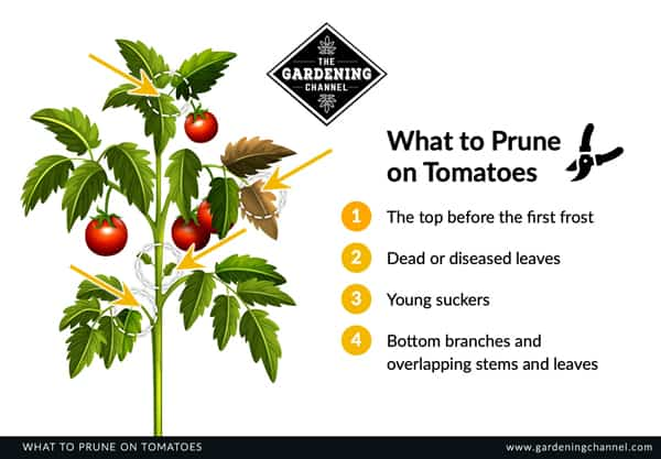 Prune on tomatoes