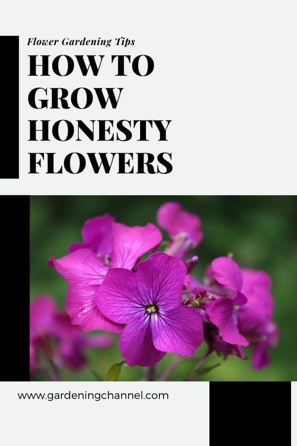 Lunaria annua with text overlay flower gardening tips how to grow honesty flowers
