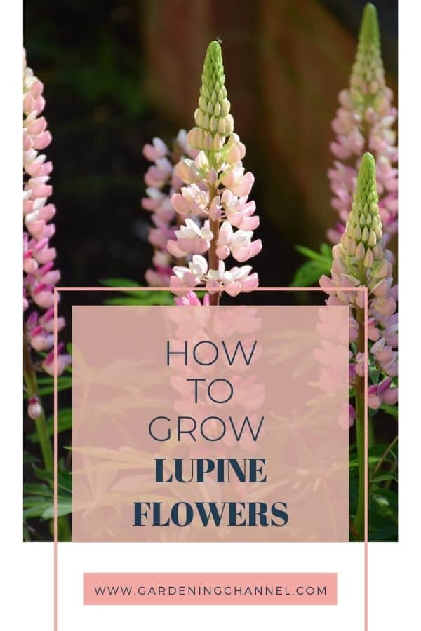 pink lupines with text overlay how to grow lupine flowers