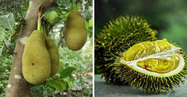 jackfruit and durian are different fruits