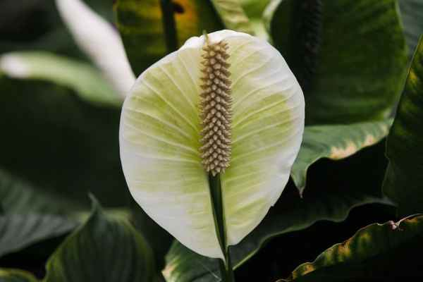 peace lily plant bloom
