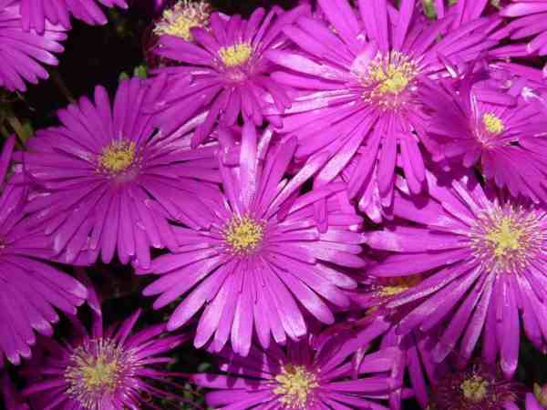 ice plant flower blooming