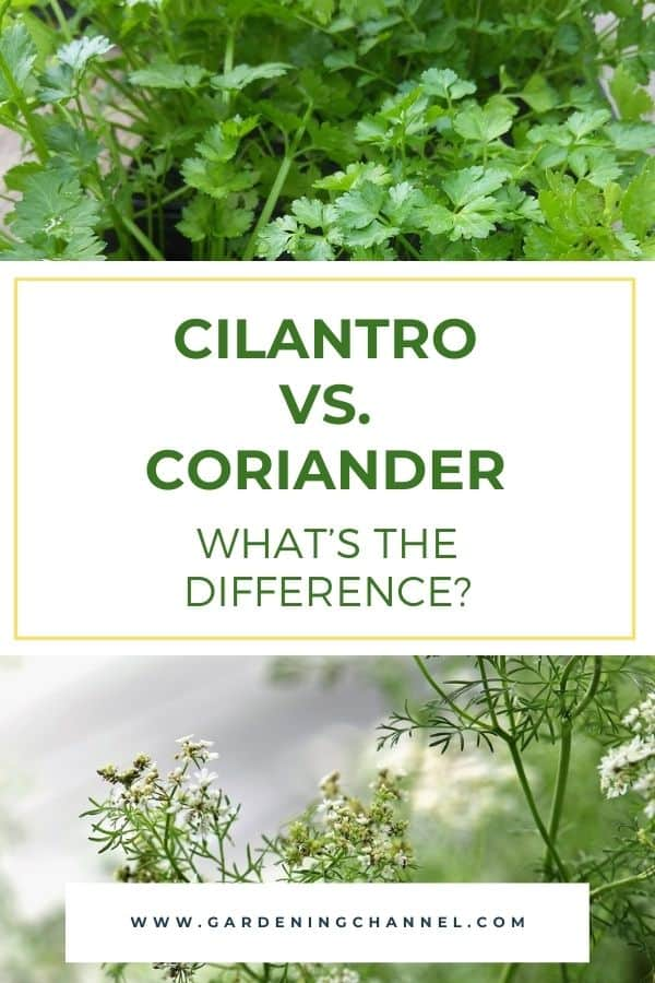 cilantro starter plants and coriander herb seeding with text overlay Cilantro vs. Coriander what's the difference