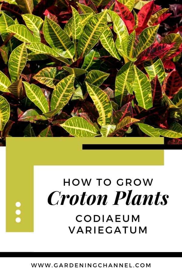 croton leaves with text overlay how to grow croton plants codiaeum variegatum
