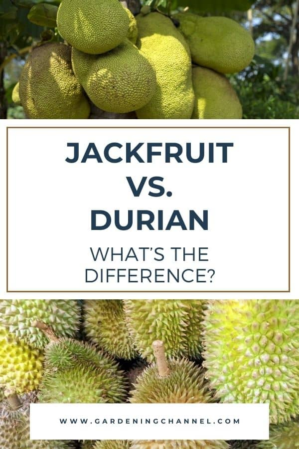 jackfruit on tree durian harvested with text overlay Jackfruit vs. Durian whats the difference