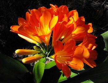 growing kaffir lily