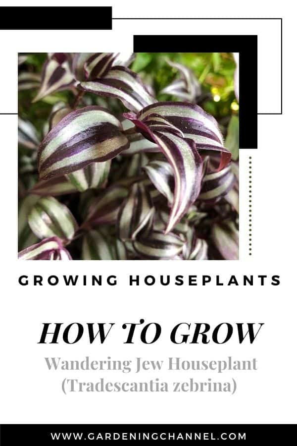 wandering jew houseplant with text overlay growing houseplants how to grow wandering jew houseplant tradescantia zebrina