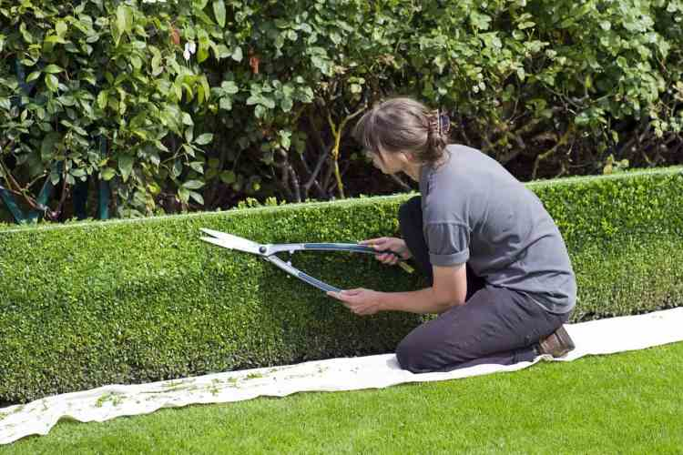 gardener trimming hedge with garden shears