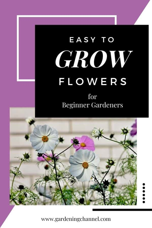 cosmos in flower bed with text overlay easy to grow flowers for beginner gardeners