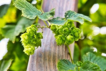 growing hops in vertical garden