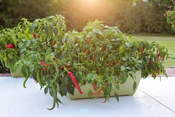 hot peppers growing in a container