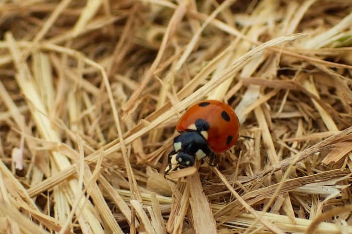 ladybug in garden straw mulch