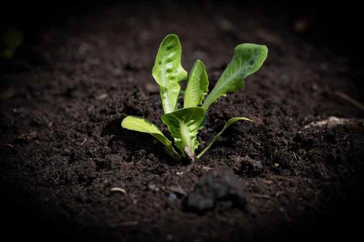 lettuce seedling planted from seed