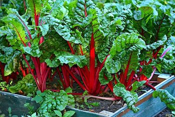 swiss chard growing in the garden