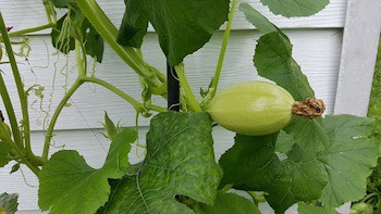 growing winter squash vertical