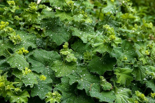 growing lady's mantle