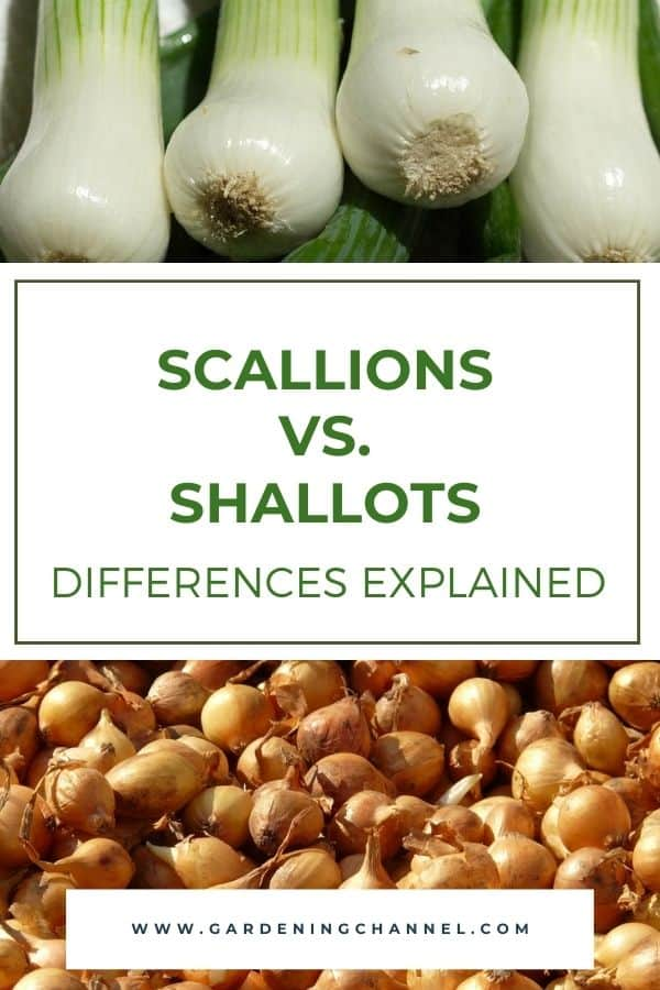 harvested scallions and shallots with text overlay scallions vs. shallots differences explained