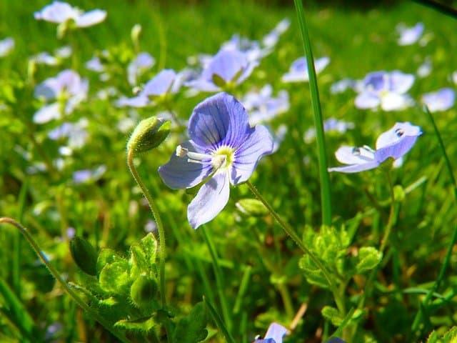 growing Veronica filiformis