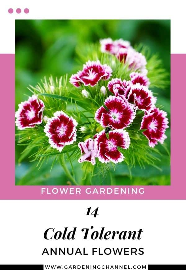 growing cold tolerant annual flowers