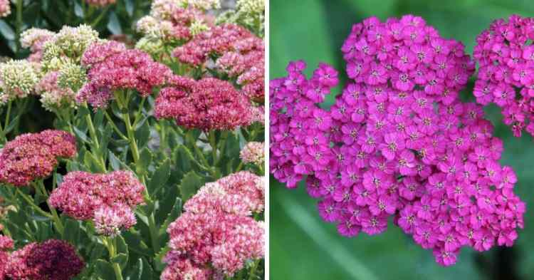 growing cold tolerant perennial flowers