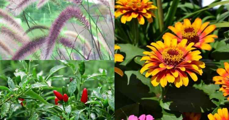 zinnias hot peppers fountain grass deer tolerant plants for garden