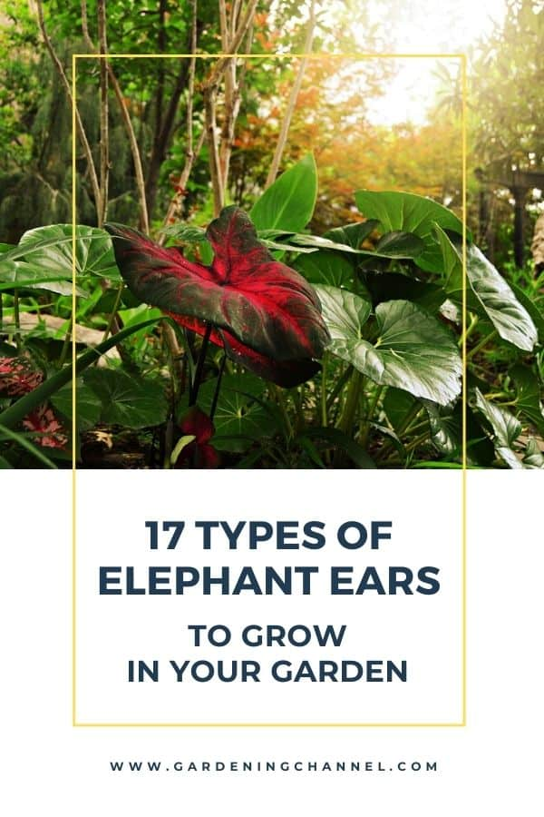 caladiums in garden with text overlay seventeen types of elephant ears to grow in your garden