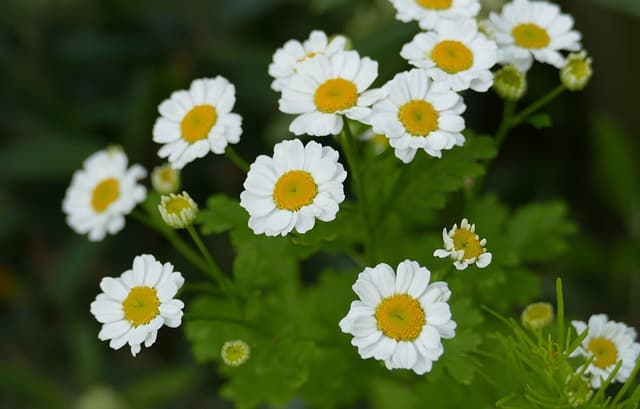 growing feverfew