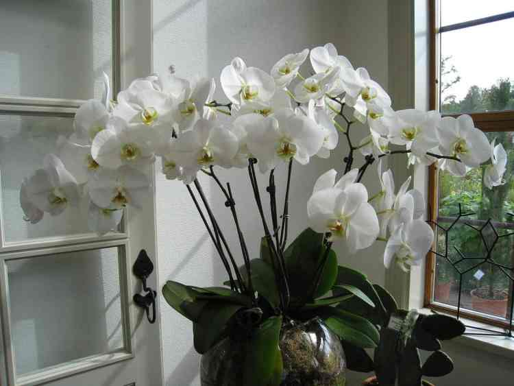 healthy orchid houseplant blooming