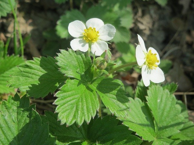 growing wild strawberry