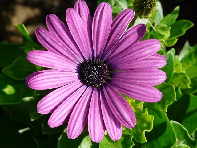 growing african daisy