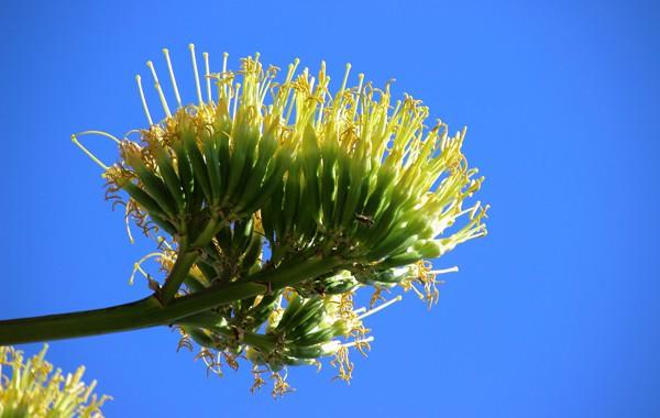 century plant flower stalk