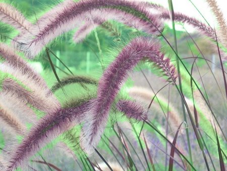 growing fountain grass