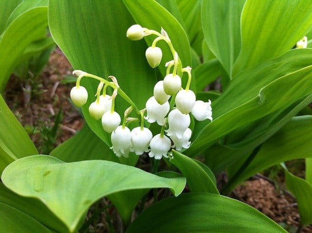 growing lily of valley