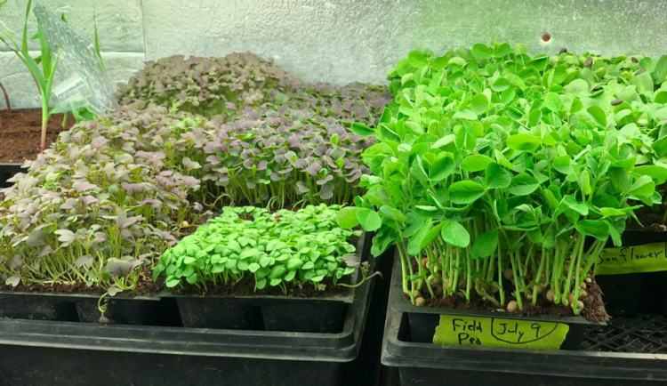 a variety of microgreens growing