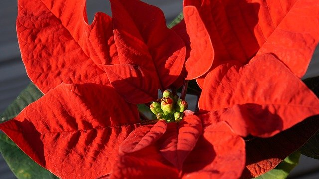 blooming poinsettia