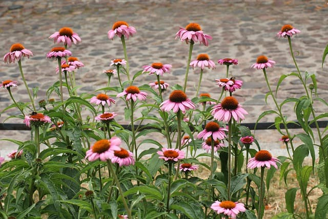 growing and drying coneflower