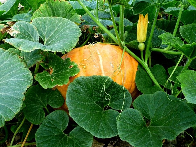 growing pumpkin in home garden