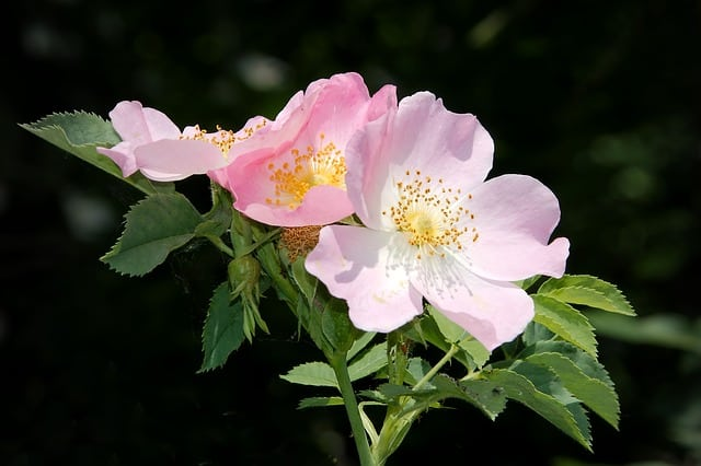 growing wild rose