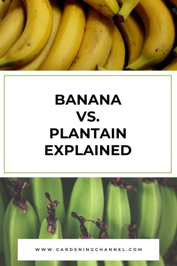 images of fruit with text overlay Banana vs. Plantain explained