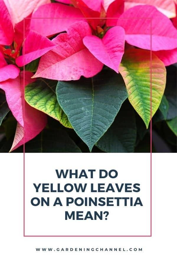 yellow leaves on poinsettia with text overlay What do yellow leaves on a poinsettia mean