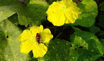 blister beetle on a flower