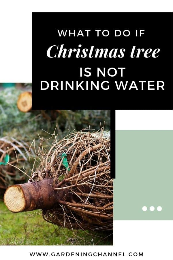 christmas tree trunk with text overlay what to do if christmas tree is not drinking water
