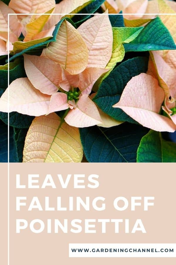 yellow poinsettia leaves with text overlay leaves falling off poinsettia