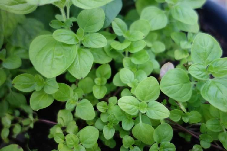 marjoram herb growing