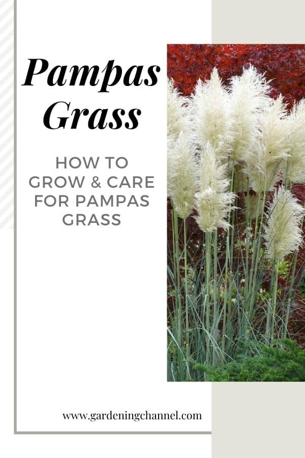pampas grass in yard with text overlay pampas grass how to grow and care for pampas grass
