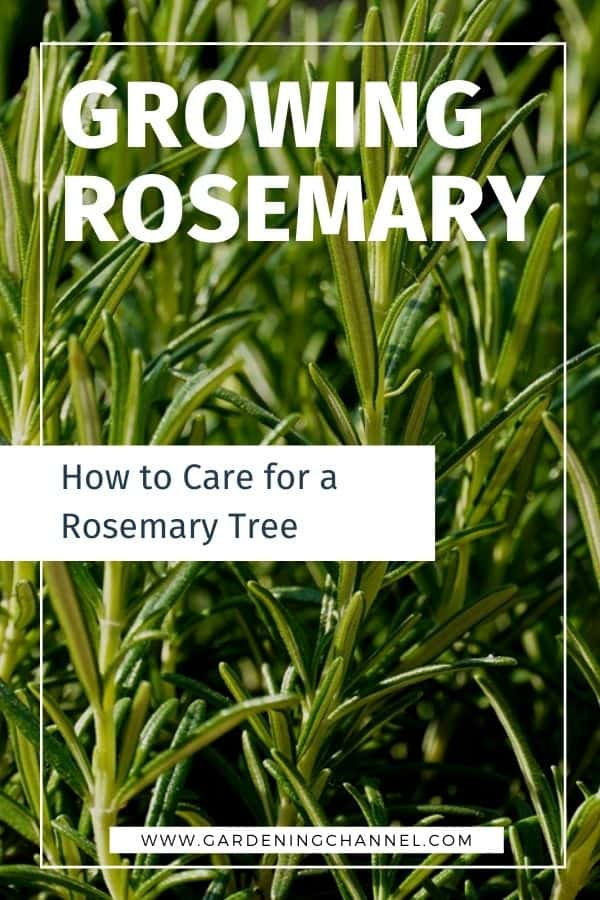 rosemary herb with text overlay how to care for a rosemary tree