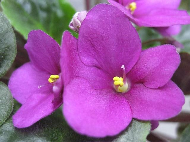 growing Saintpaulia